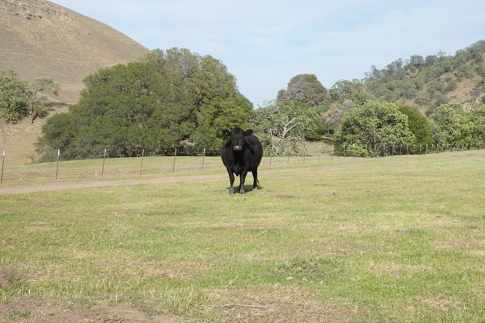 We've decided to name this fine black cow Howard and dub him Lord of the Black Diamond Mines Regional Preserve in Antioch, CA