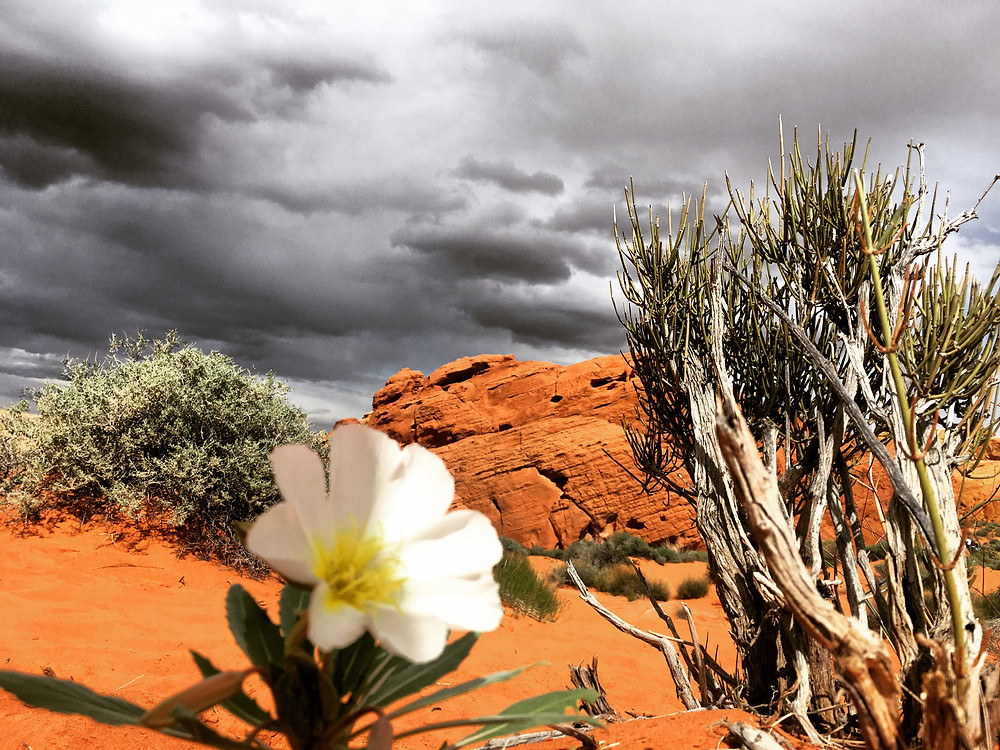 Grey and black stormclouds are fleeing into the distance over the Valley of Fire State Park in Nevada, leaving drenched red rocks and a solitary newborn flower in their wake