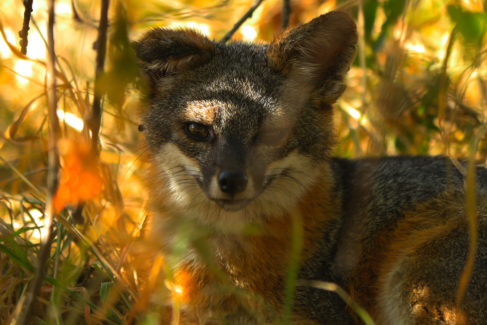 An absolutely adorable Island Fox grins for the camera. The shot is a close-up, with the red, brown, and white fur of the fox clearly visible as he hides in the underbrush