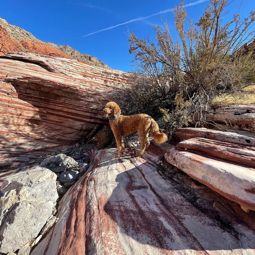 A majestic golden brown labradoodle perched on the brilliantly colored striated rocks of Red Rock Canyon, just outside Las Vegas, Nevada