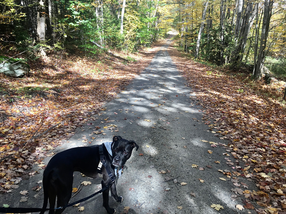The best dog in the world (not biased at all), Milo is a pit bull / boxer mix waiting patiently for his Dad to follow him through a trail in Green Mountains National Forest in southern Vermont
