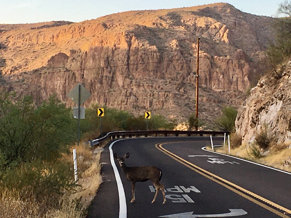 Red mountains loom majestically in the Superstition Mountains outside Phoenix, Arizona, as an extremely confused deer attempts to cross the street, instead striking a pose for the camera