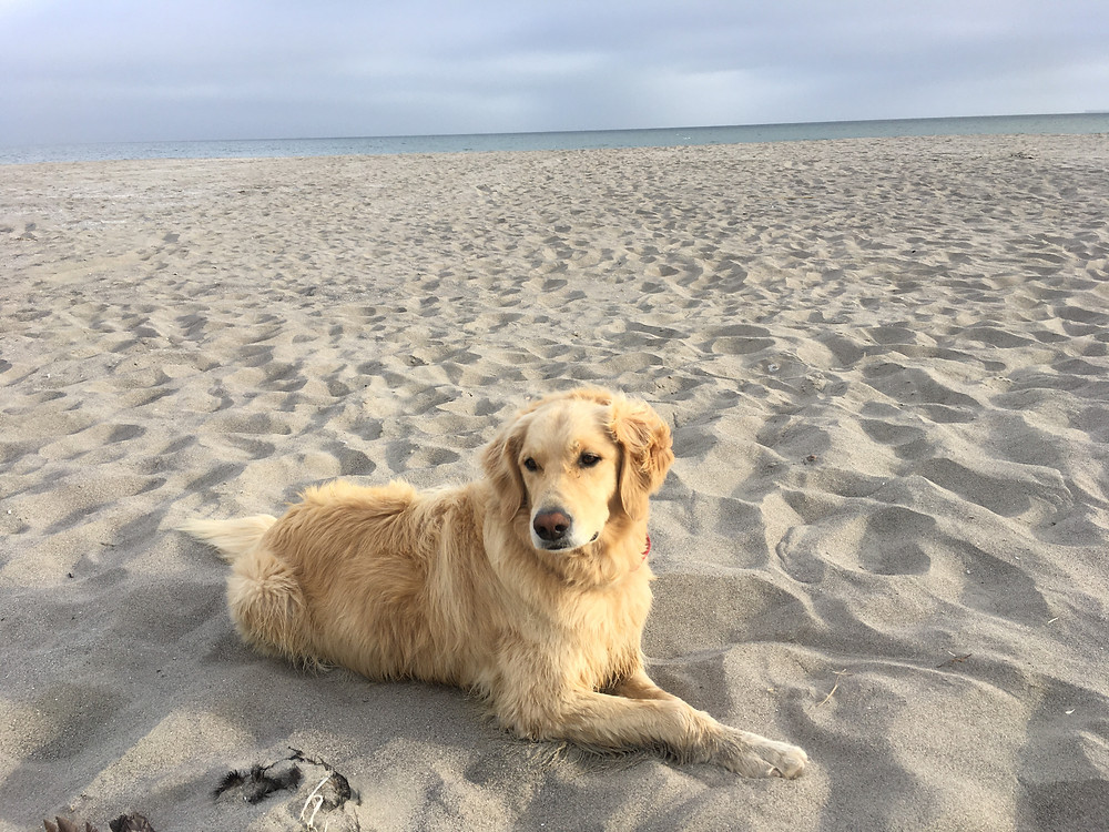 Very Good Boy Simba looking extremely regal while sitting on Stinson Beach in California