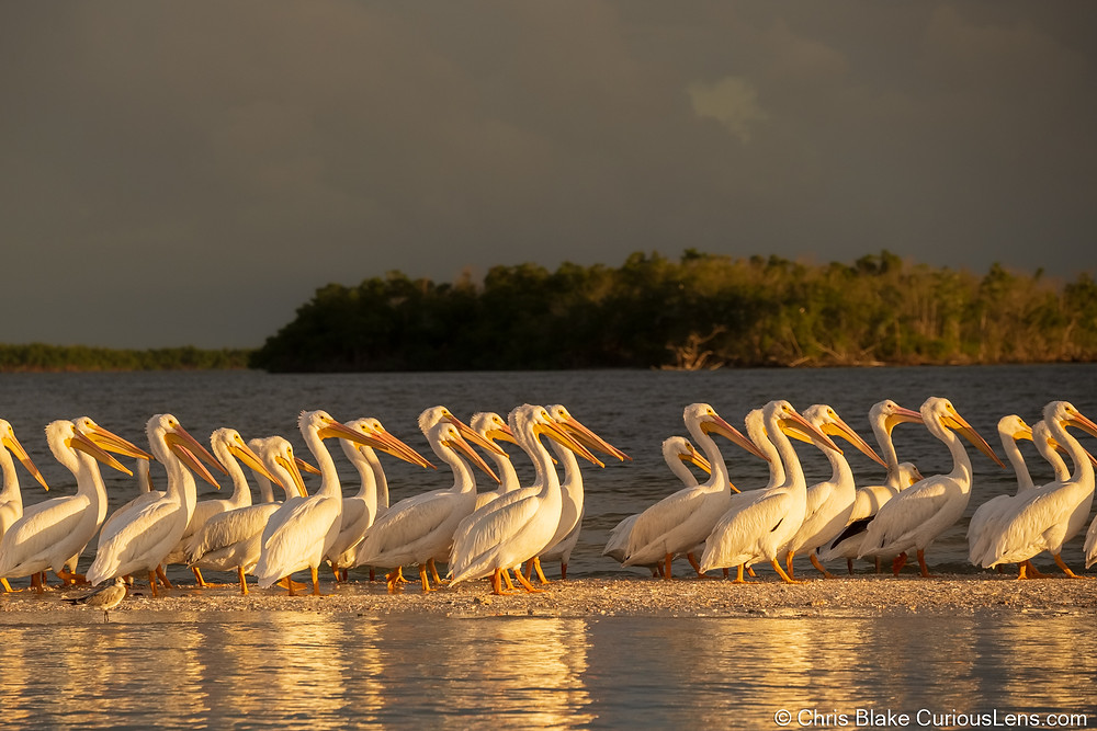 dozens of Great Egrets line up on the beach of Everglades National Park in Floriday. The sand is reflective in front of them, the water is just behind them, and in the distance a woodsy island lingers