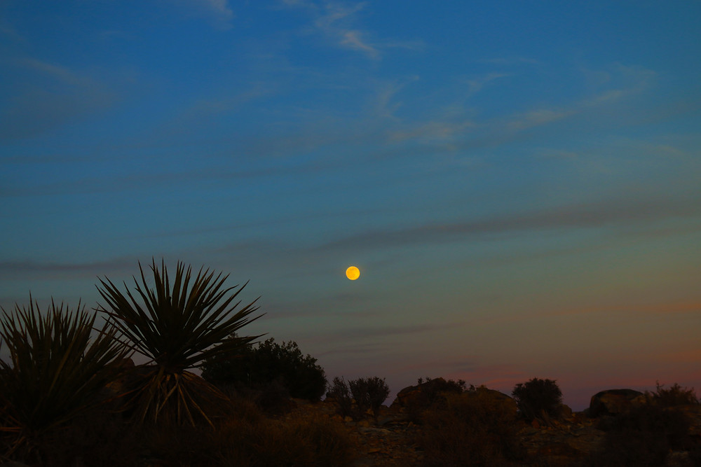 Deep blues and vague oranges illuminate the night sky around a perfect glowing moon, over joshua trees spiking up from the desert at Joshua Tree NAtional Park in California
