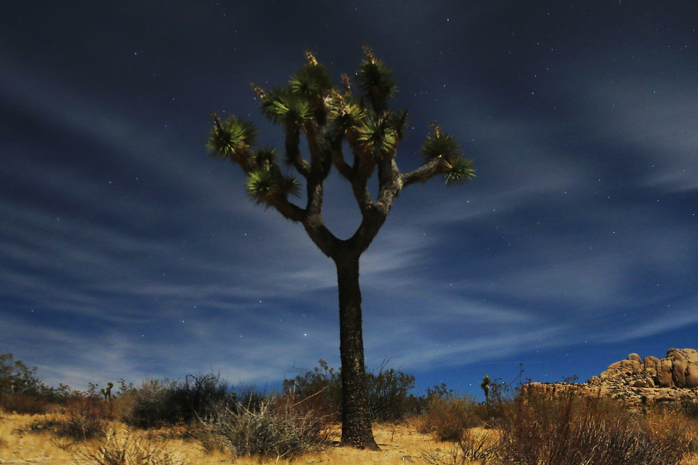 a solitary, noble Joshua Tree against a night sky laced with wispy clouds