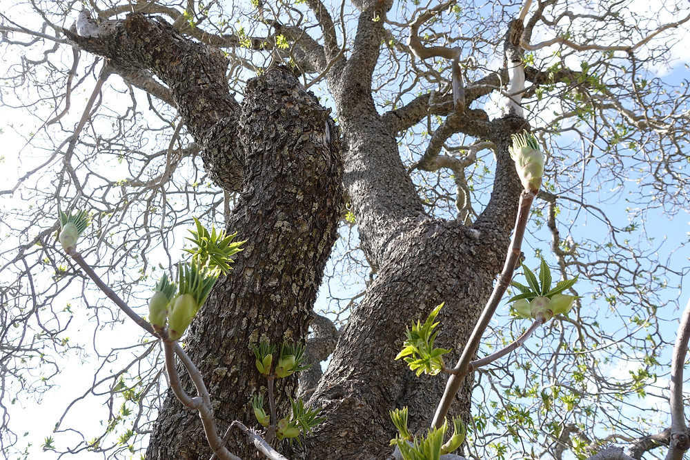 Interesting buds coming off of trees in Ohlone wilderness