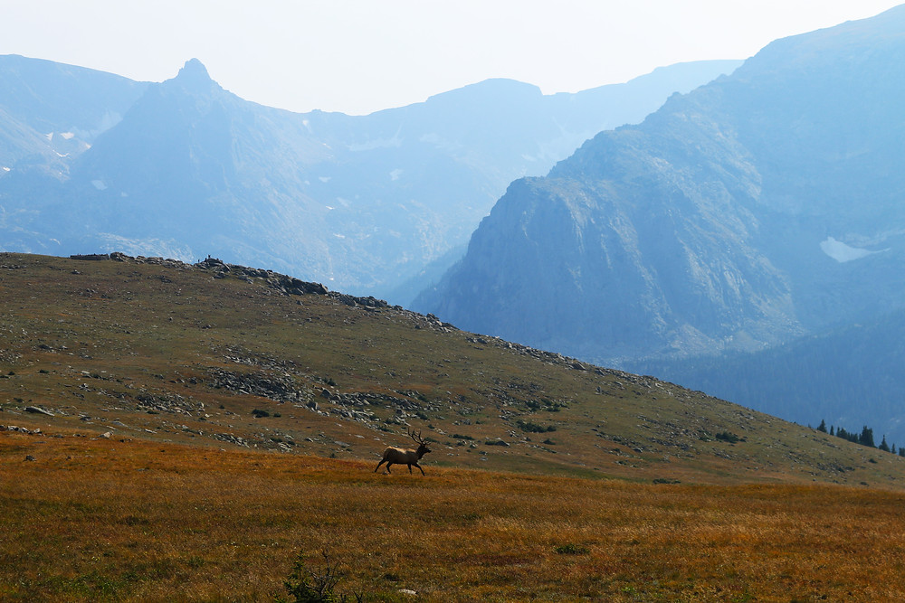 An elk scampers across the plains on the side of a hill in front of the majestic hazy blue mountains of Rocky Mountain National Park in Colorado