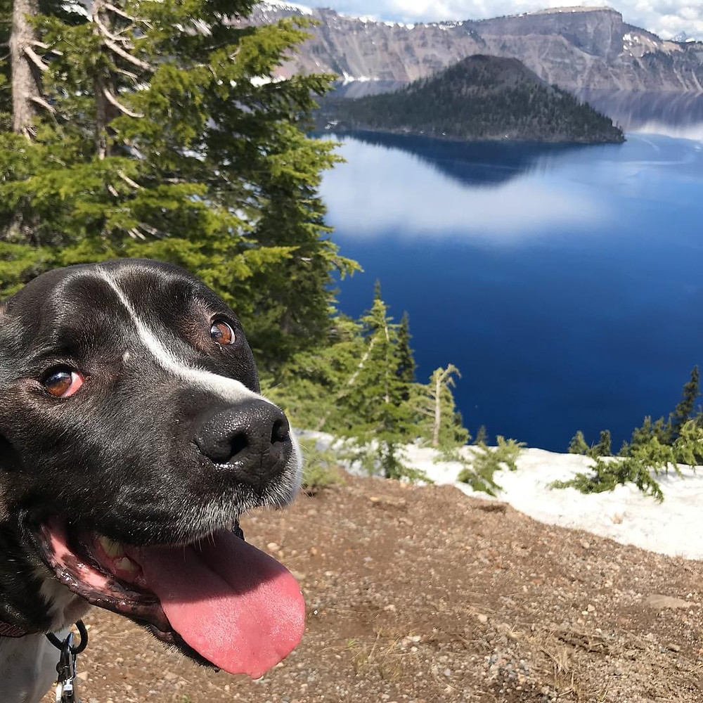Kal-El the black pitbull with a white stripe down his nose smiles for the camera as he stands on the shoreline of beautiful crystal blue Crater Lake in Oregon.