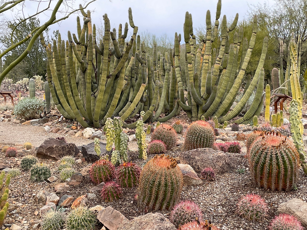 Tons of different kinds of cacti abound in Saguaro National Park in Tucson, Arizona