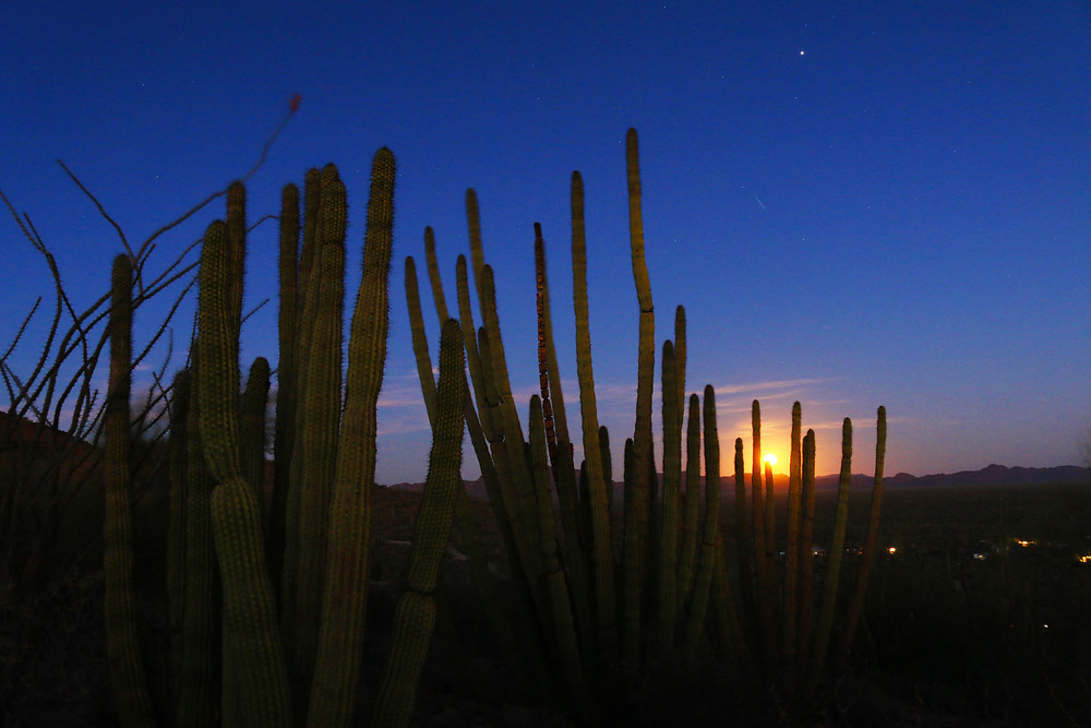 The namesake Organ Pipes of Organ Pipe National Monument are dozens of Saguaro Cacti rising up to partially obscure a brilliant moonrise, illuminating the sky a royal blue - almost purple color