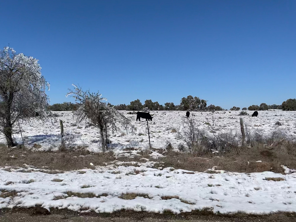 Cows grazing in Texas Hill Country, stuck outdoors after a snowstorm desperately searching for food when their pasture is covered in snow.