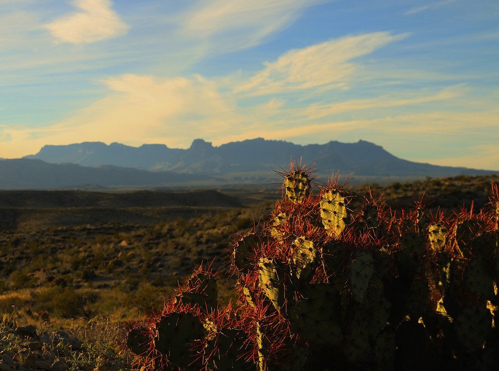 A purple and green prickly pear cactus stands tall in front of a grassy plain leading up to the enchanting Chisos Mountains in the distance. A desert haze partially obscures the partly cloudy blue sky