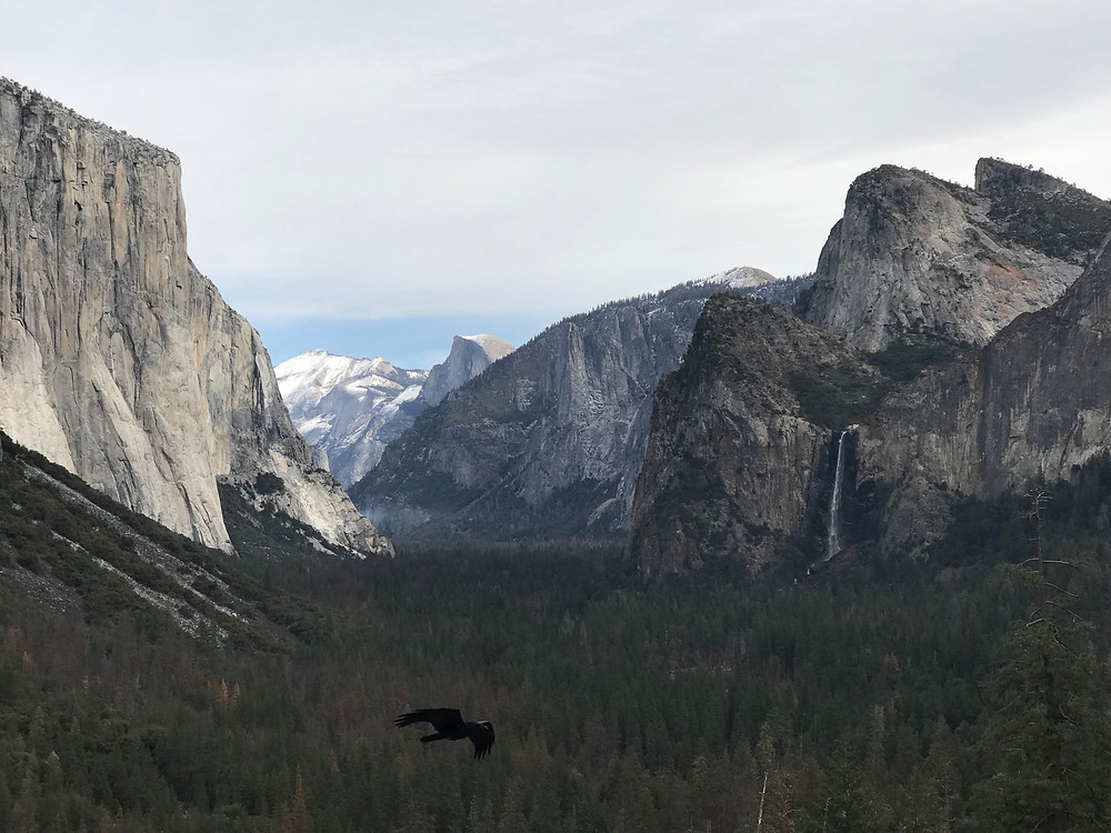 a bird soars over the forest of Yosemite National Park in California, past El Capitan with Half Dome looming in the distance