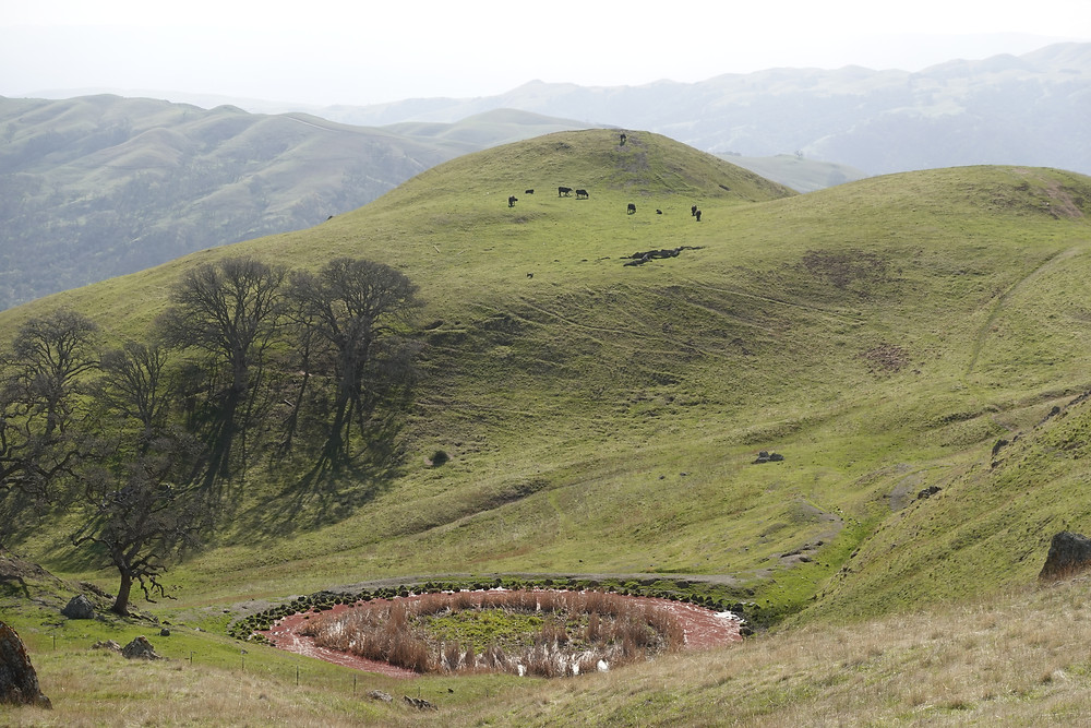 Green hills stretch as far as the eye can see, with cattle grazing on the delicious looking grass, in the Ohlone Wilderness REgional Preserve