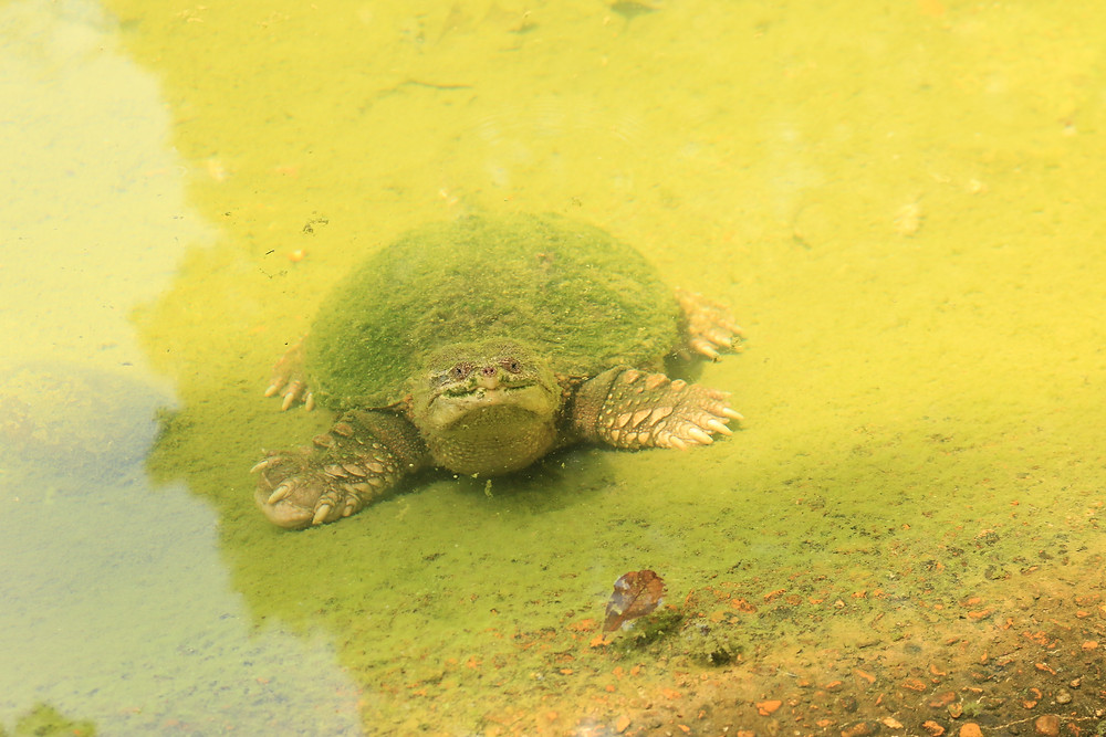A turtle buddy crawling underwater in Bayou Sauvage, Louisiana. He looks a bit mossy, but generally happy to see us