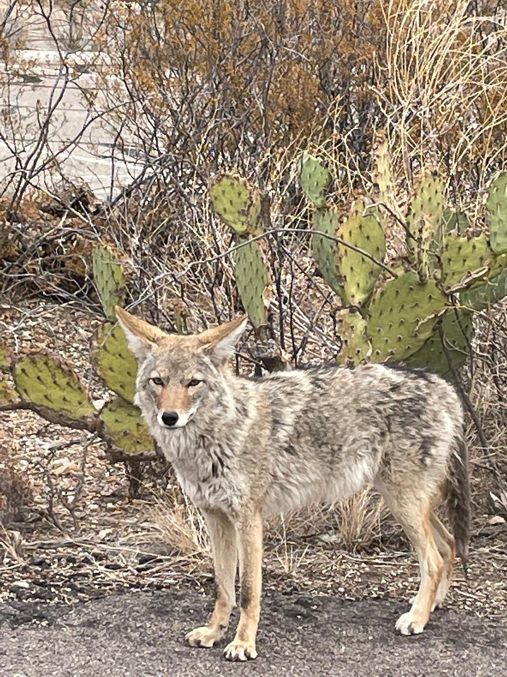 an extreme closeup of a mottled grey-brown Arizona Coyote in Saguaro National Park, Tucson Arizona