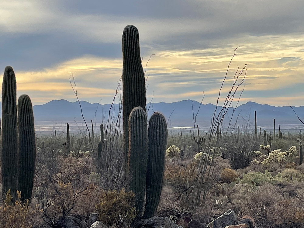 Saguaro cacti stand watch over a brilliant cloud-laced sunset in Saguaro National Park in Tucson, Arizona, deep in the Sonoran desert.