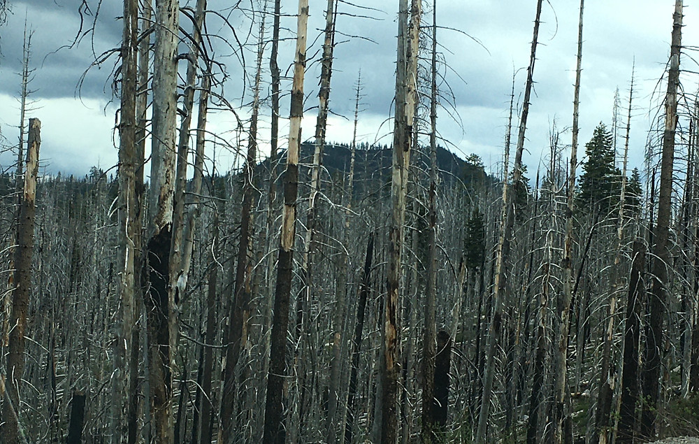 charred tree trunks are the remnants of the wildfires of the past at Lassen Volcanic National Park in California