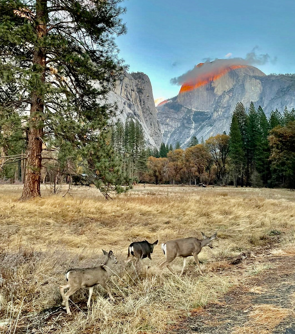 Three deer make a religious pilgrimage to Half Dome in the Yosemite Valley. The majestic cliff is stained a deep orange-red from the sun setting overhead