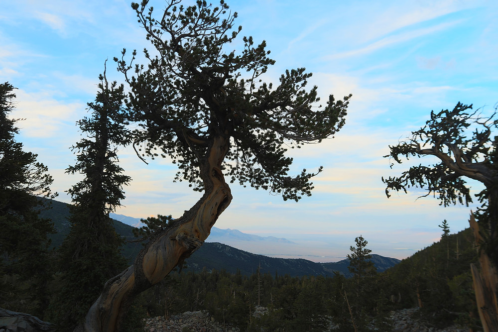 an old tree zigzags its way up into the bright blue sky streaked with clouds in Great Basin National PArk in Utah