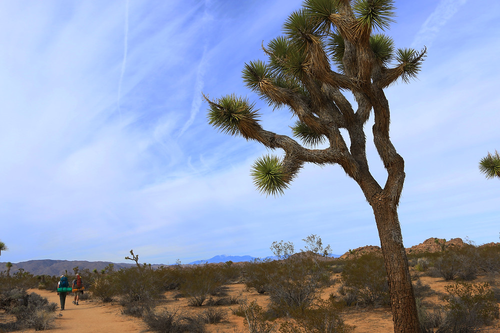 A single spiny Joshua Tree stands above the brown sands of the desert and green shrubbery, under cloud-streaked blue skies