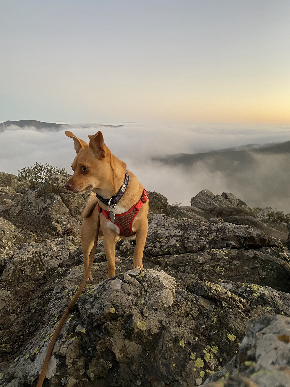 Pepper, a mighty chihuahua-ish puppy lording over the peak of Mount Tamalpias as the fog rolls in below