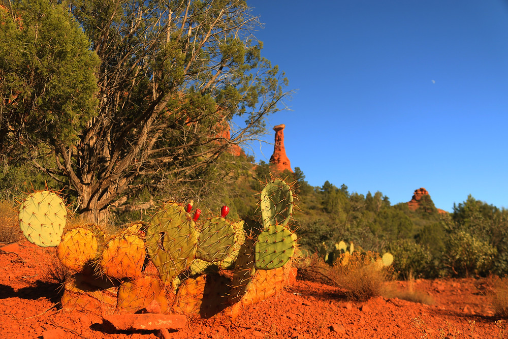 Vibrant colored Prickly Pear cacti sprout up from the reddish brown desert soil, with scrubby plantlife and tall red hoodoos rising in the background. Sonoran Desert, Arizona