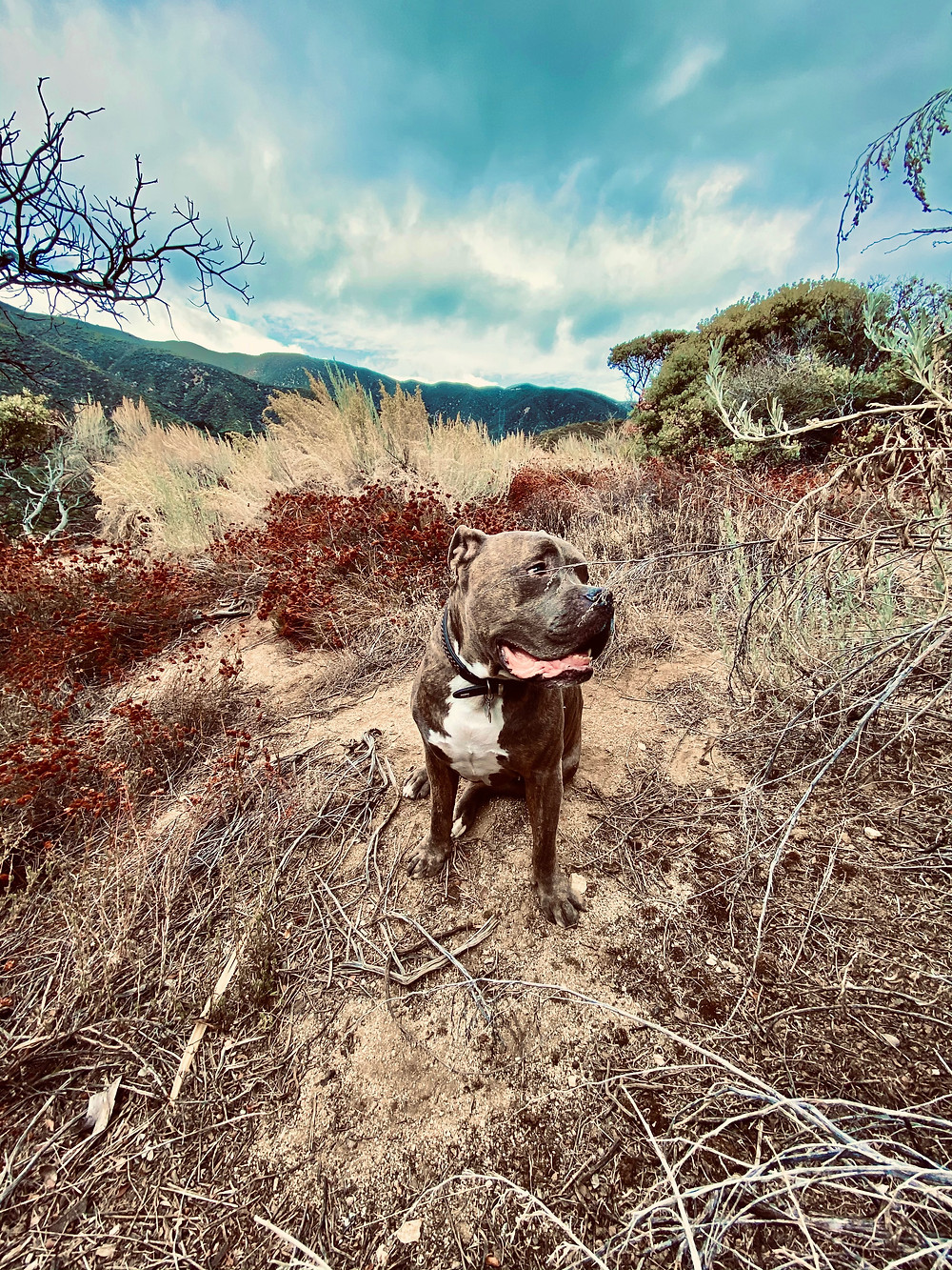 A friendly brindle pit bull named Sampson strikes a glorious pose among the scrub brush atop a hill in Santa Clarita Woodlands Park in California