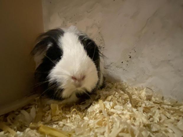 Small Pets Guinea Pig