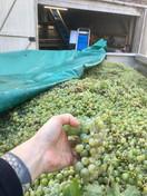 Dominique et Mallorie Pabiot - Grappoli di Sauvignon Blanc durante la vendemmia