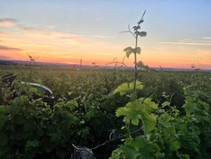 Dominique et Mallorie Pabiot - vigna di Sauvignon Blanc al tramonto
