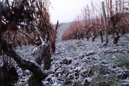 Dominique et Mallorie Pabiot - vigna di Sauvignon Blanc in inverno