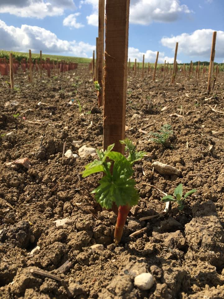 Nuovo impianto di vigna Pinot Noir da Champagne per la Maison Huiban - Wine Terroir Importazione Distribuzione Vino