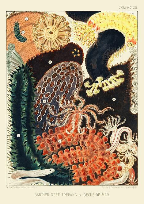 William Saville-Kent   Barrier Reef Trepang   A3 Art Print