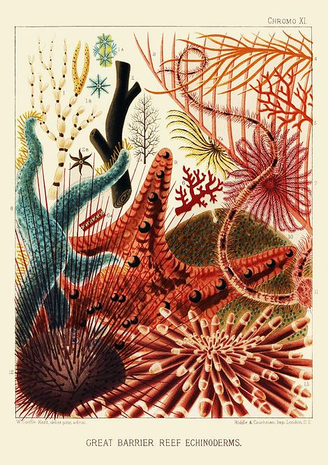 William Saville-Kent | Echinoderms | A3 Art Print