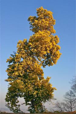 fc-arbre