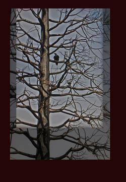 EBZ-P1580346-arbres corbeau 3