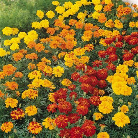 marigold mixed.jpg