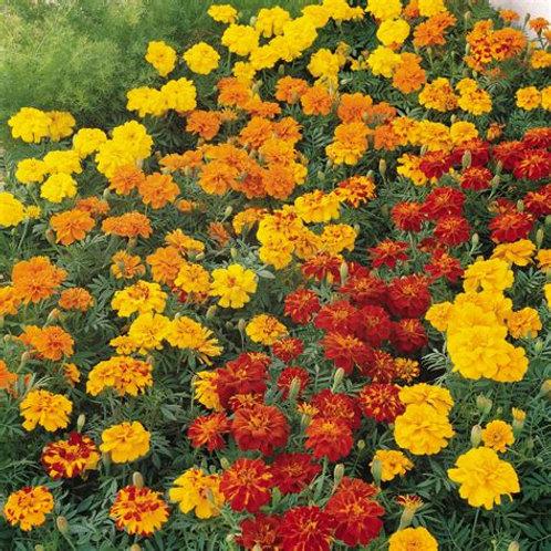 Marigold - Full Flat