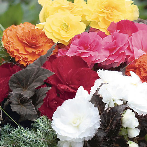 """Non-stop Tuberous Begonia - 4"""" Potted Plant"""