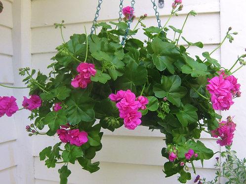 """Vining Geranium, Ivy - 10"""" Hanging Basket"""