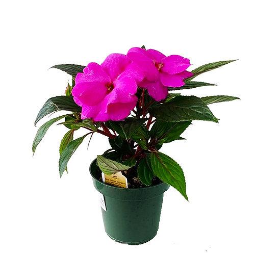 "New Guinea Hybrid Impatiens - 4"" Potted Plant"
