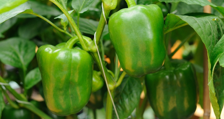 Green pepper sweet bell.jpg