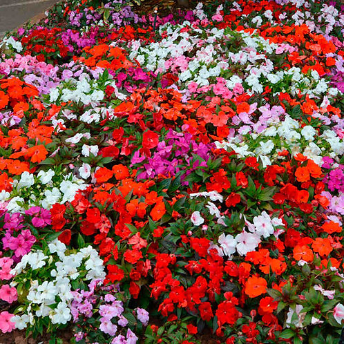 Impatiens - Small Pack