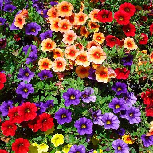 """Calibrachoa - 4"""" Potted Plant"""