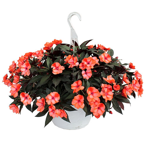 "New Guinea Hybrid Impatiens - 10"" Hanging Basket"