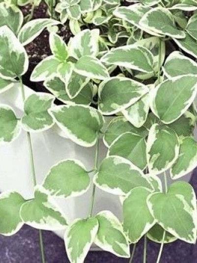 """Vinca Vines - 4"""" Potted Plant"""