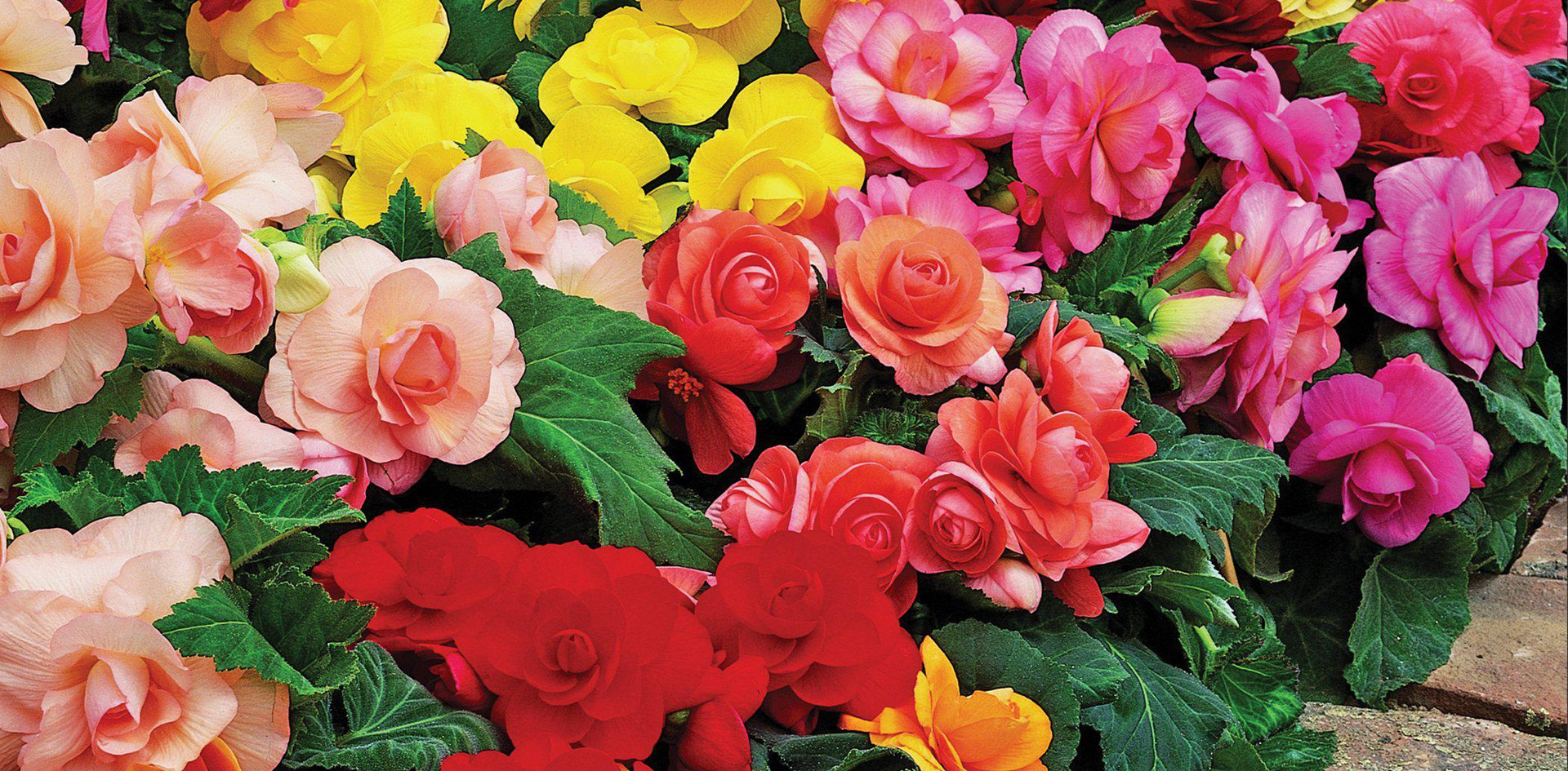 Begonia mixed.jpg