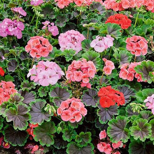 """Geraniums - 4"""" Potted Plant"""